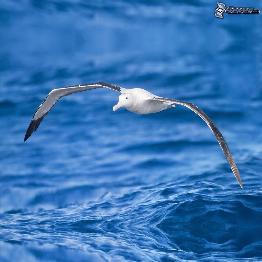 albatross, flight, water