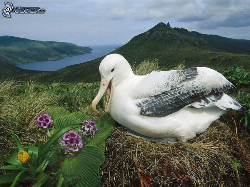 albatross, nest, flowers, hill, bay