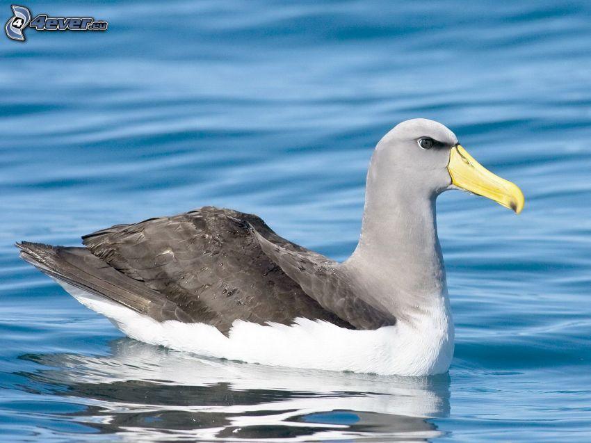 albatross, water