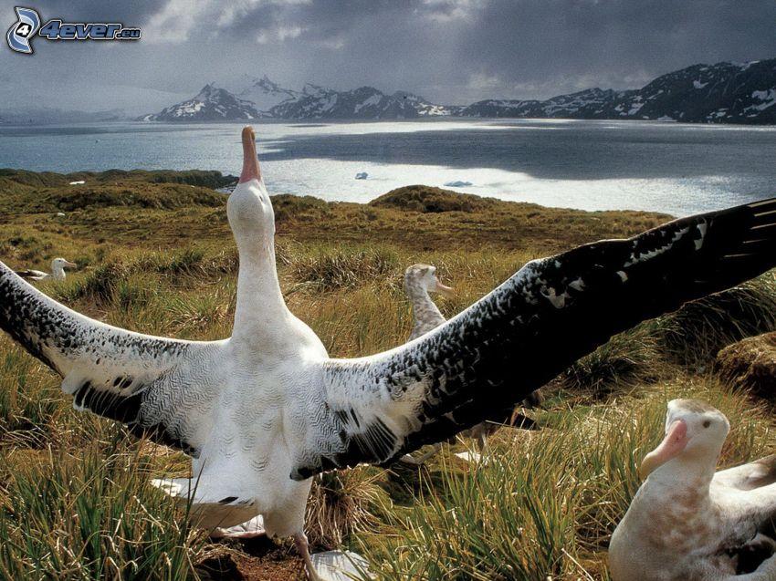 albatrosses, wings, River, snowy mountains