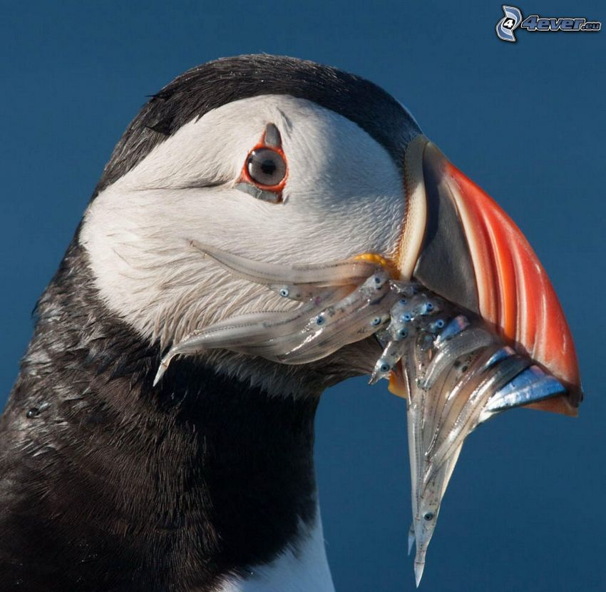 Atlantic Puffin, fishes