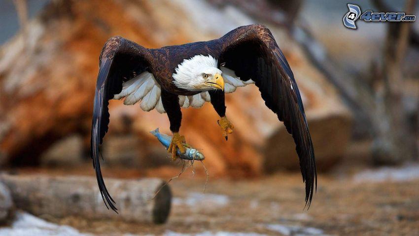 Bald Eagle, fish