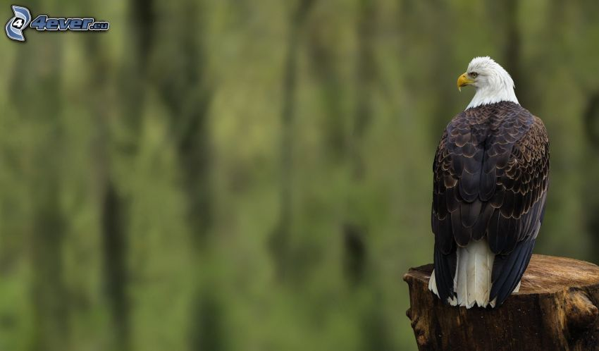 Bald Eagle, stump