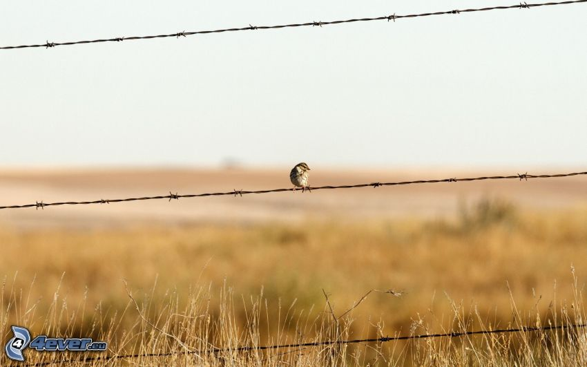 barbed wire, wire fence, bird, dry grass