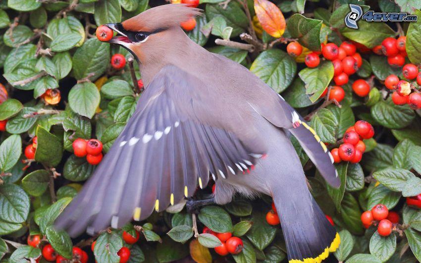 bird, berries