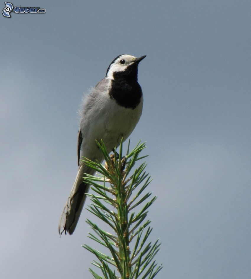 bird, conifer twig