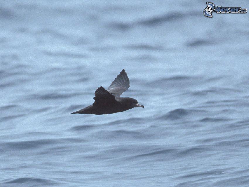bird, flight, water