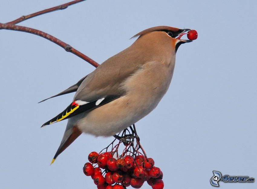 bird, mountain-ash
