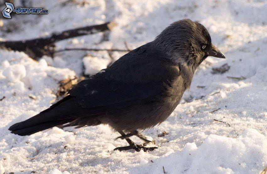 bird, snow