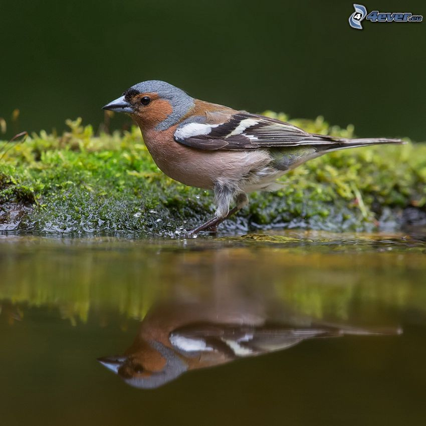 bird, water, reflection
