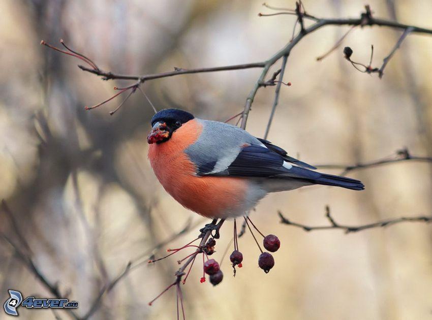 bird on a branch, berries