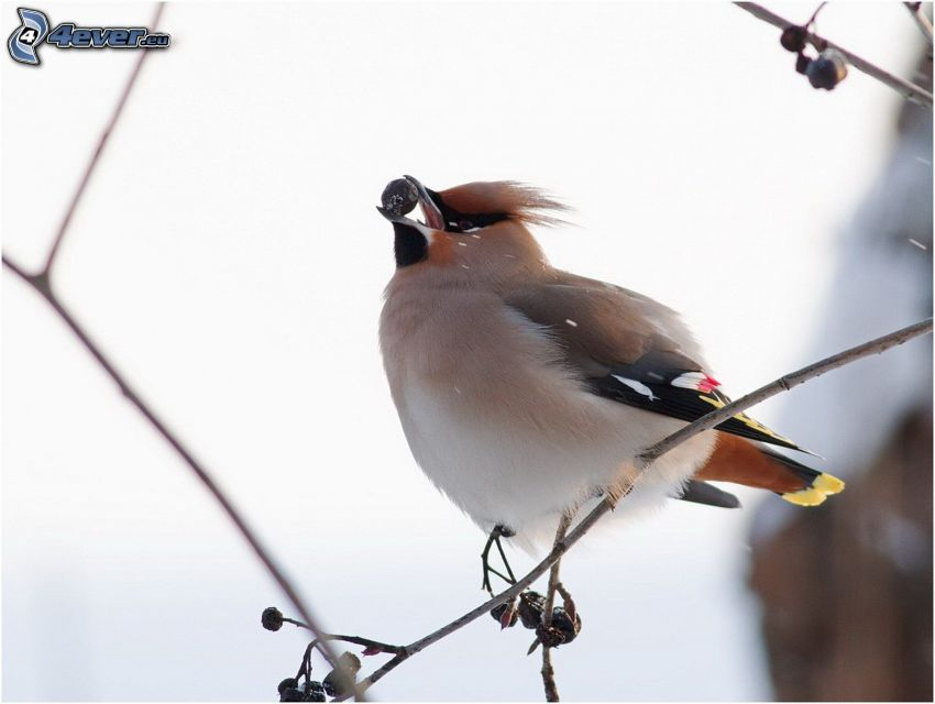 bird on a branch, berry