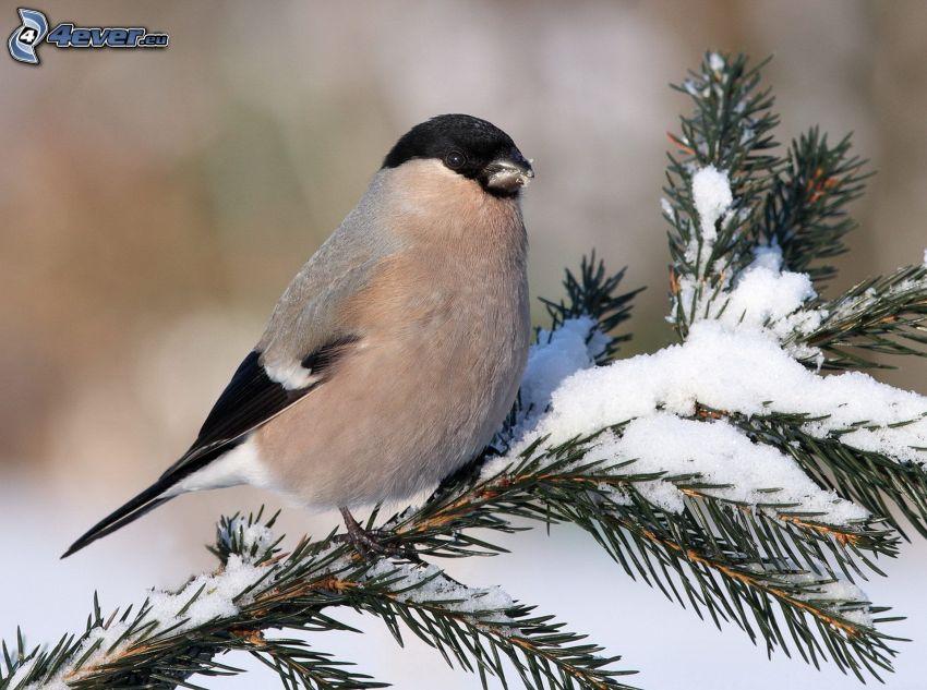 bird on a branch, conifer twig, snow