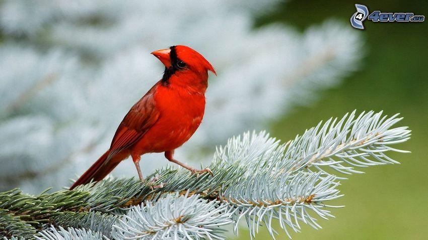bird on a branch, conifer twig
