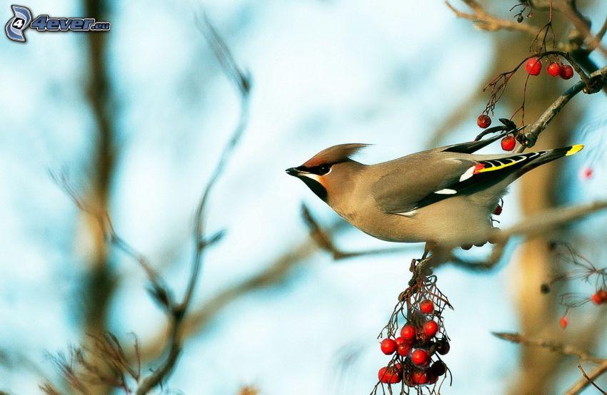 bird on a branch, mountain-ash