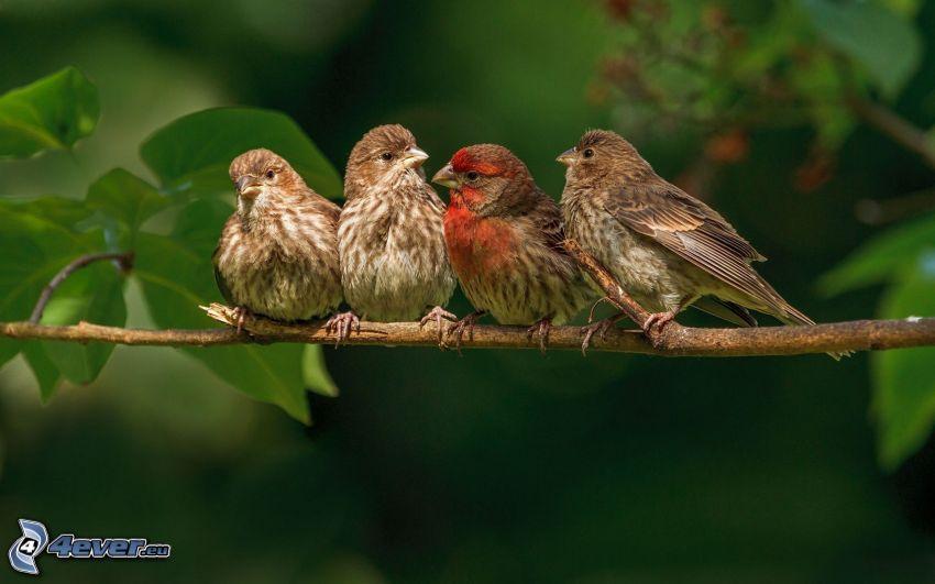 birds, branch