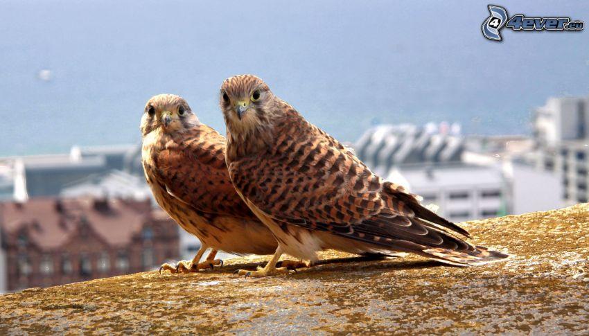 birds, falcon
