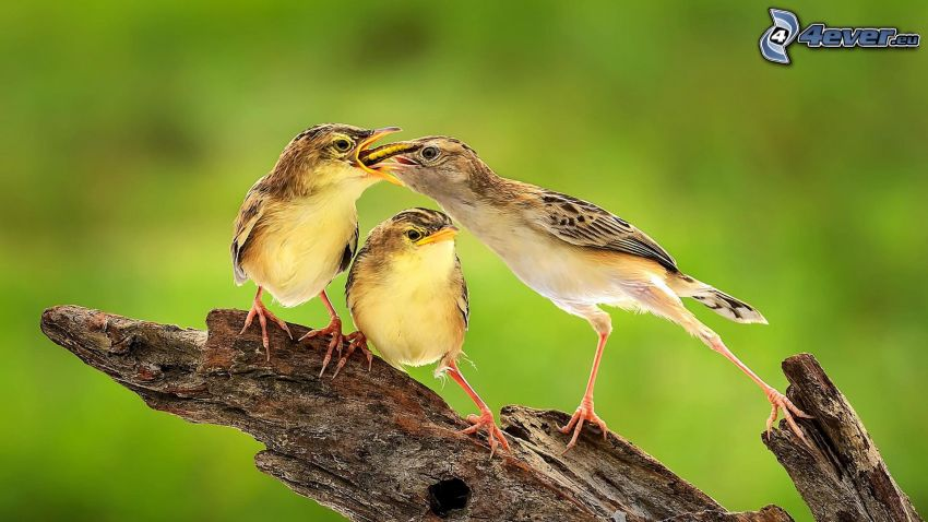 birds, feeding, wood