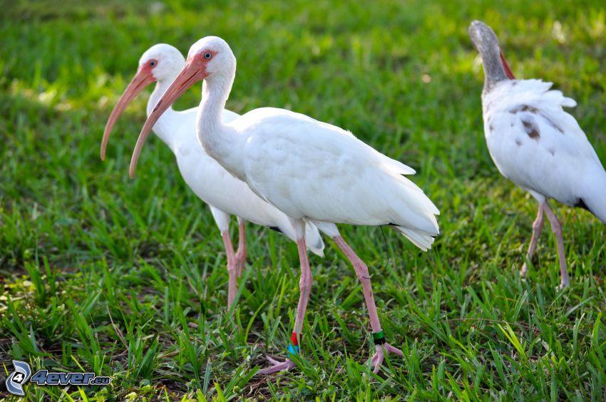 birds, grass