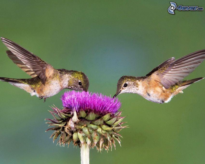 birds, hummingbird, thistle