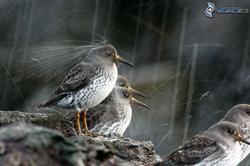 birds, rain