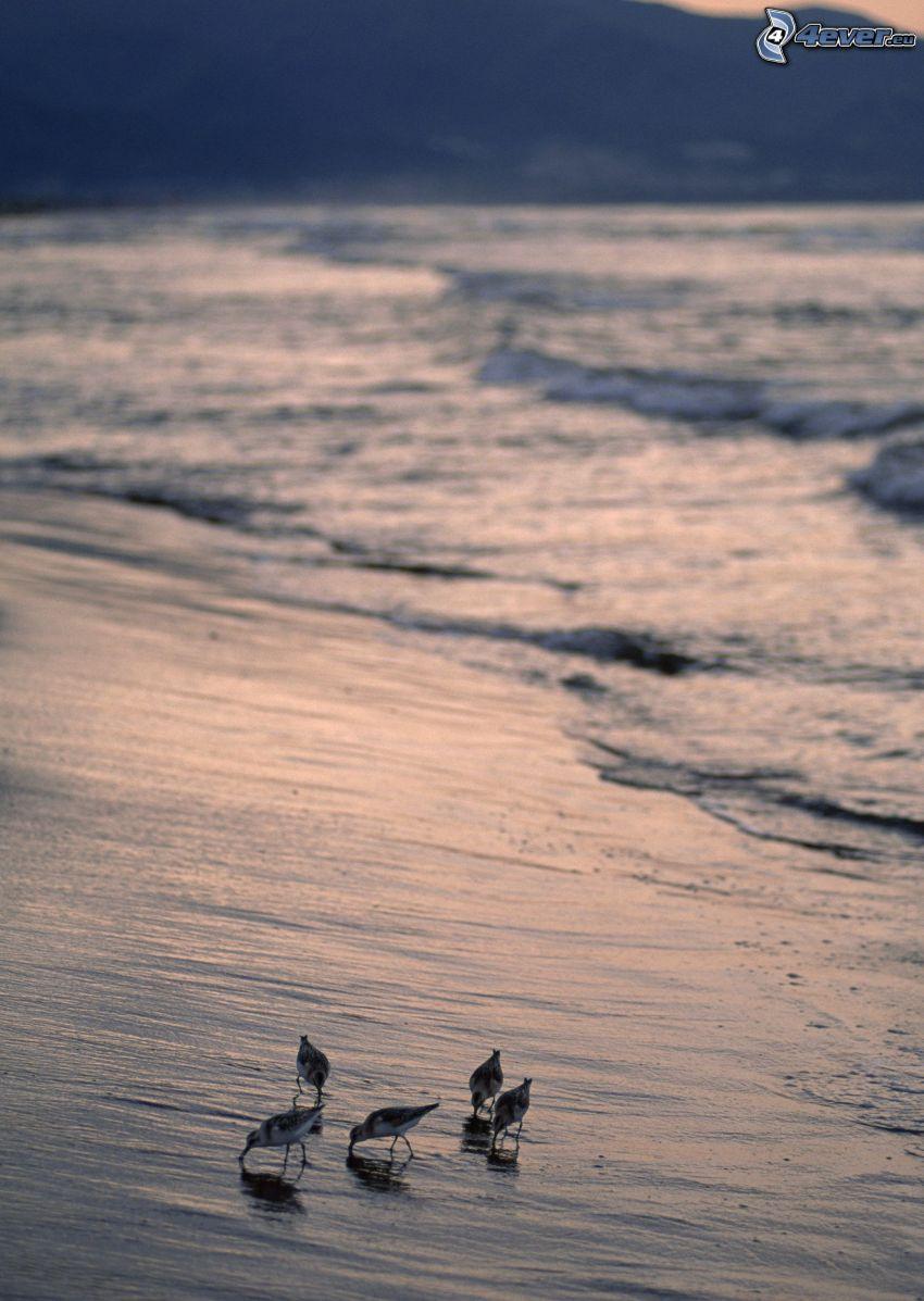 birds, shore