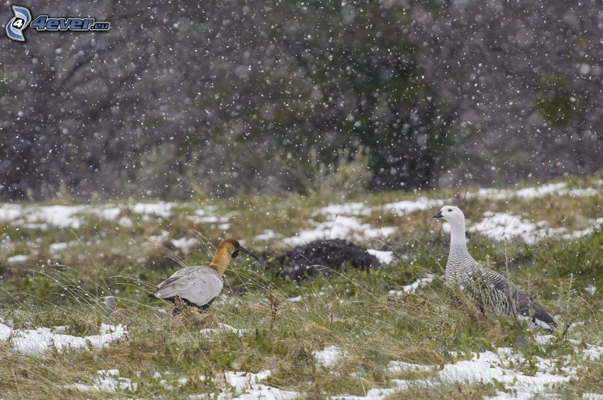 birds, snow, snowfall