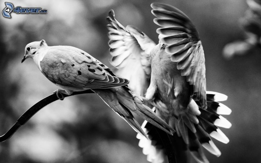 birds, wings, black and white