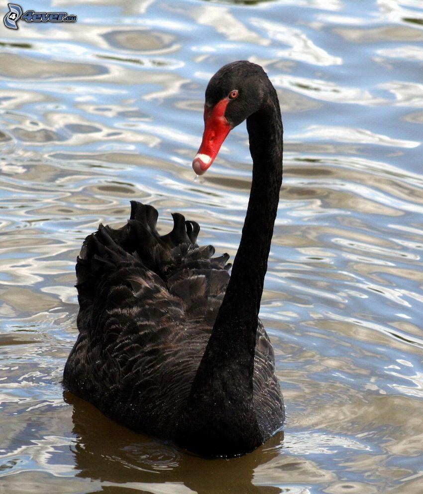 black swan, water