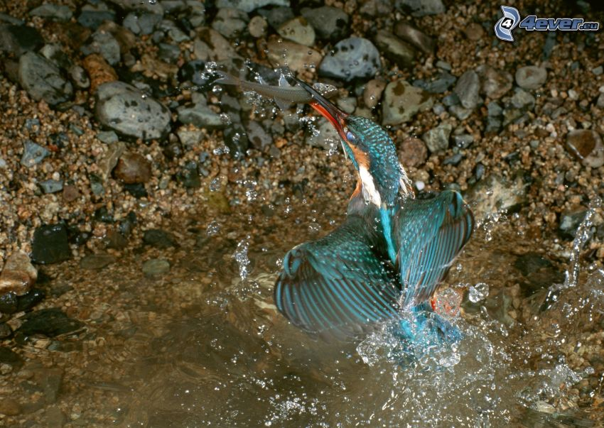 blue bird, fish, hunting, food, water