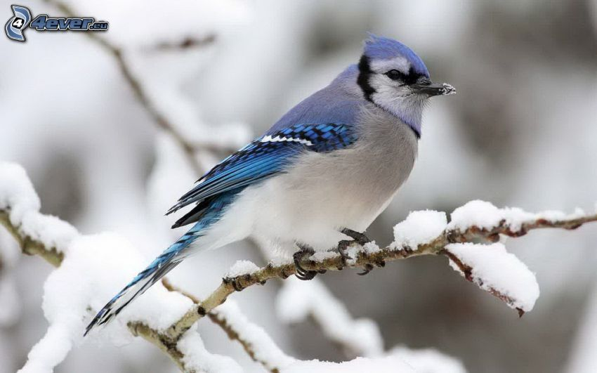 blue bird, snowy branch