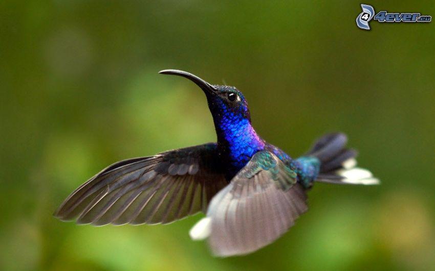 blue bird, wings