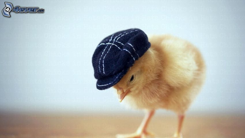 chick, hat