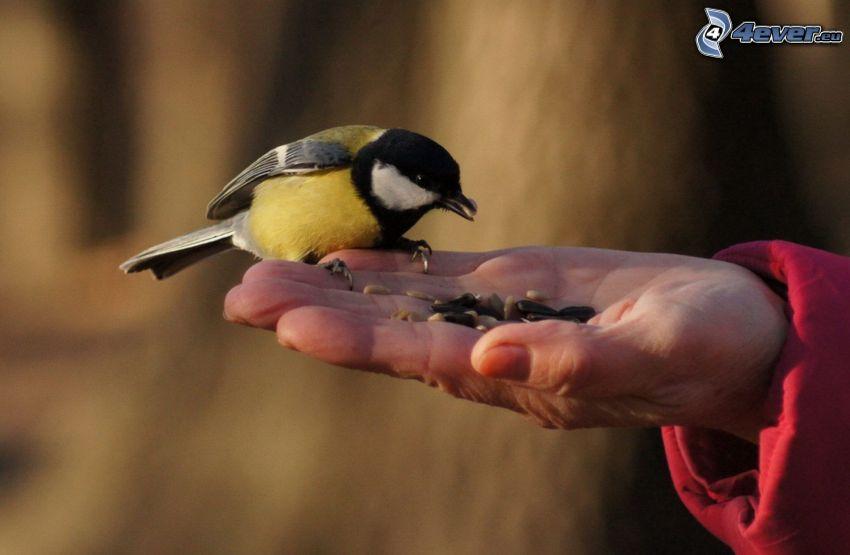 chickadee, hand, food