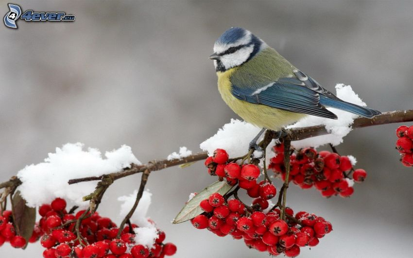 chickadee, snowy branch, mountain-ash