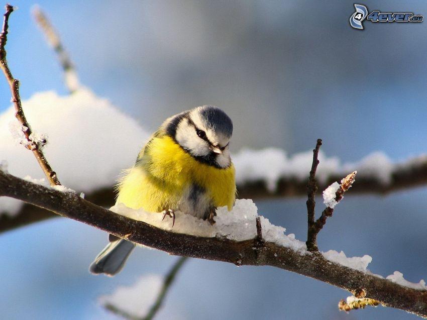 chickadee, snowy branch