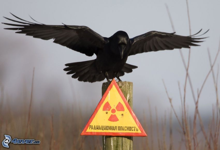 crow, sign, radioactivity