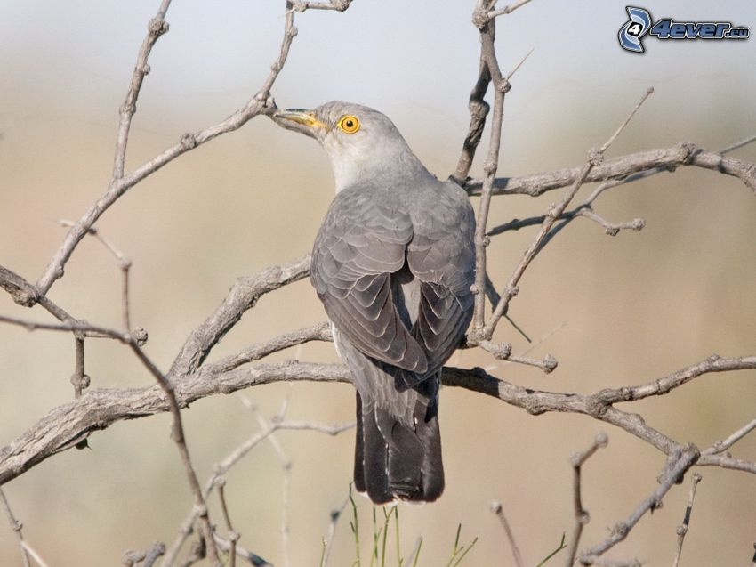 cuckoo, tree