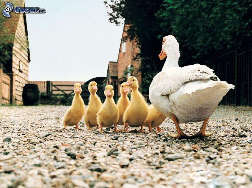 duck, ducklings, yard, gravel