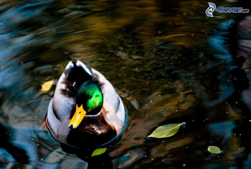 Duck, water