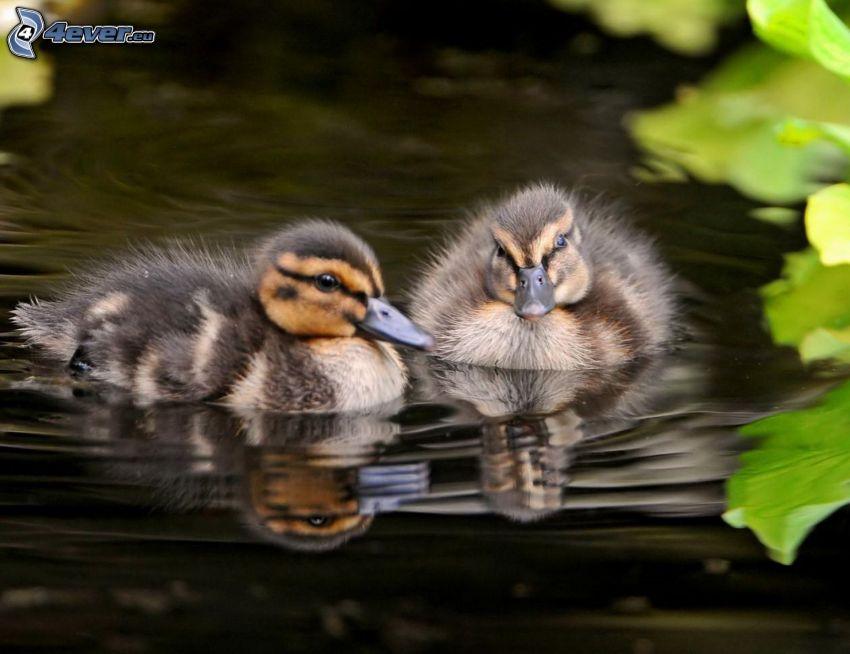 ducklings, water