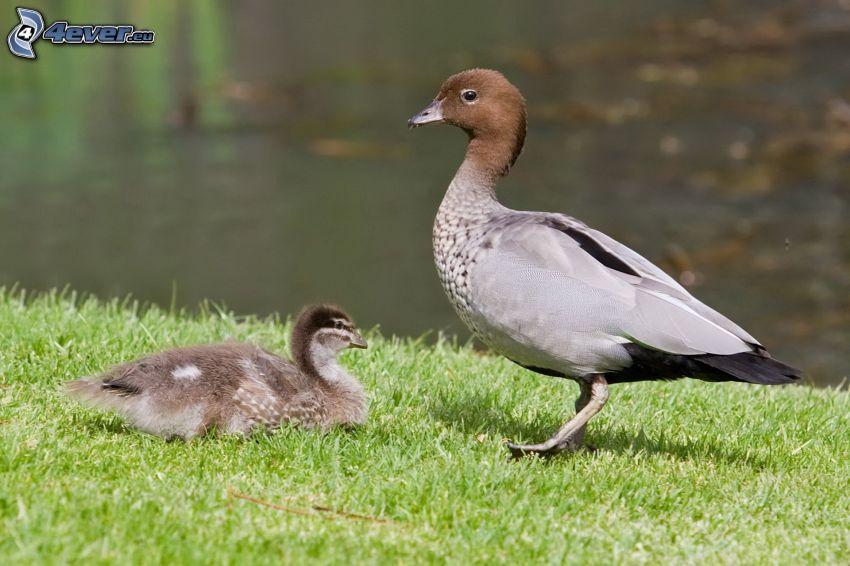 ducks, cub, grass