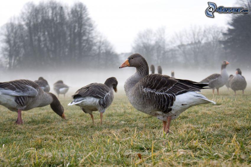 ducks, ground fog