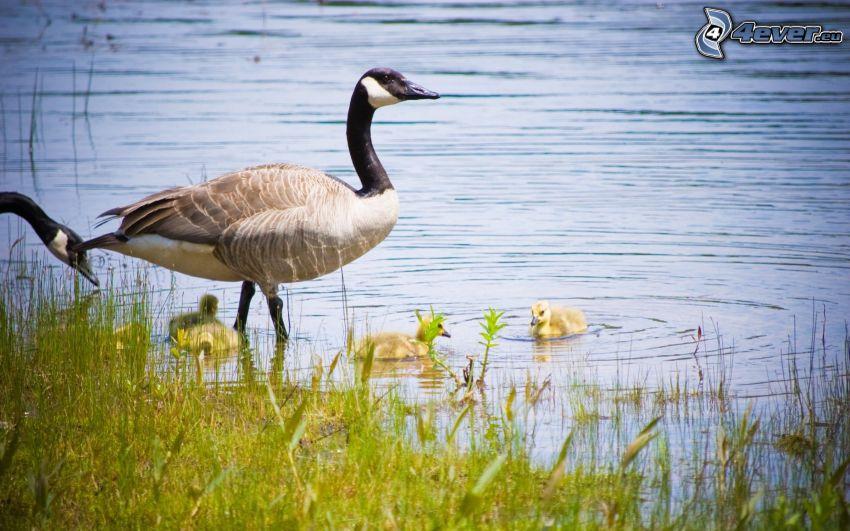 ducks on the lake, ducklings