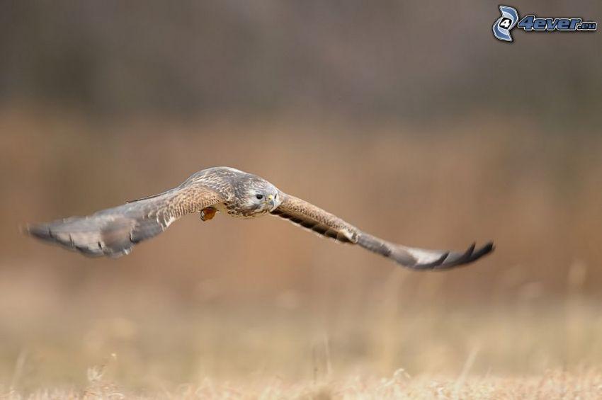 eagle, flight, wings, bird of prey