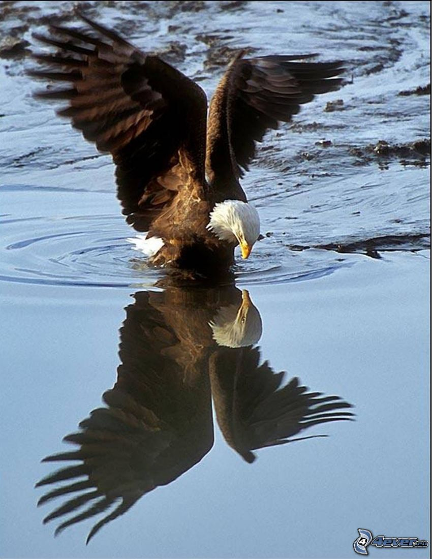 eagle, water surface, reflection