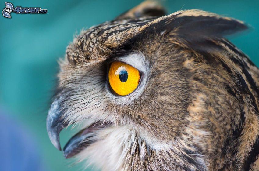 eagle-owl, eye, beak