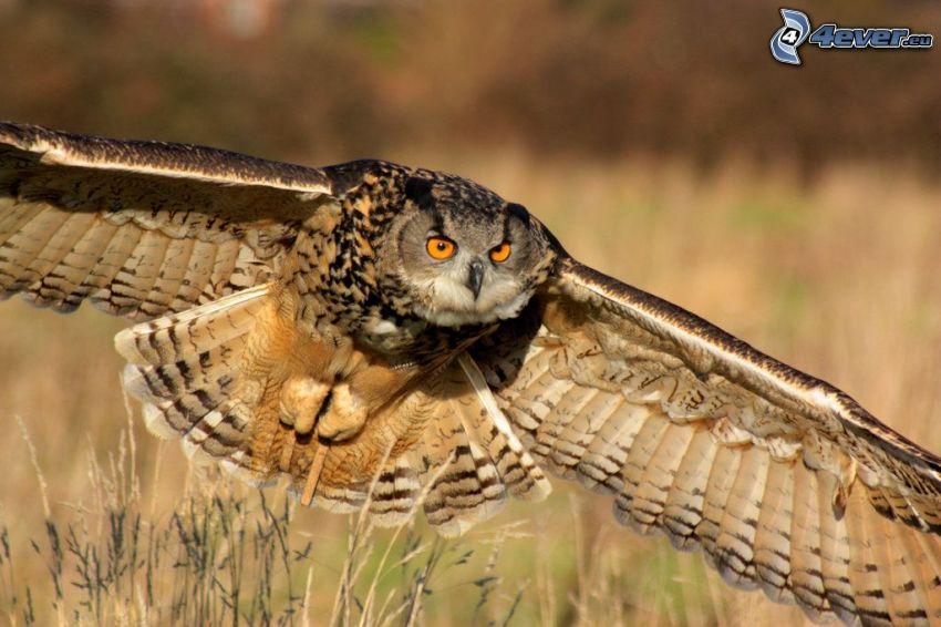 eagle-owl, flight, wings