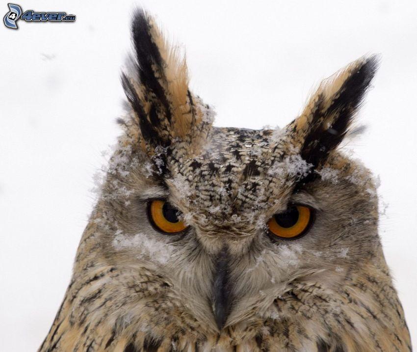 eagle-owl, snow