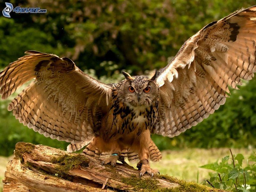 eagle-owl, wings